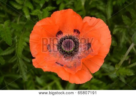 Papaver / Red Poppy Flower