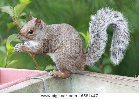 Squirrel Grey