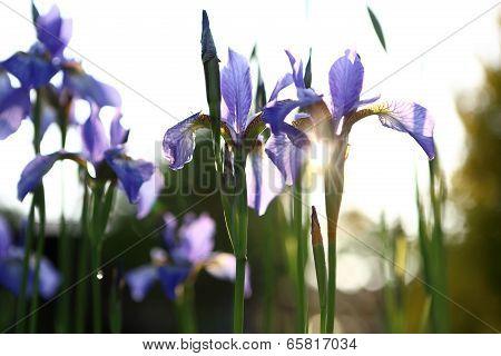 Iris - summer landscape