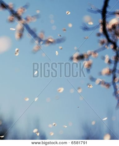 Cherry Blossoms Falling