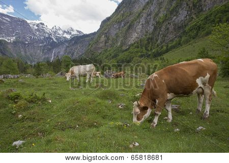 Cows Near Koenigsee