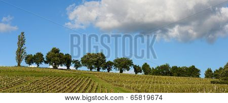 Vineyards In The Sunshine-vineyards Of Loupiac, Bordeaux Vineyards