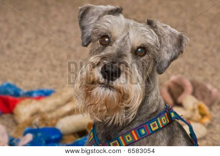 Gray Dog with Toys