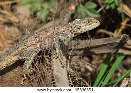 A Female Agama Lizard Resting On A Fallen Palm Leaf