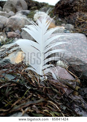 withe feather on the beach