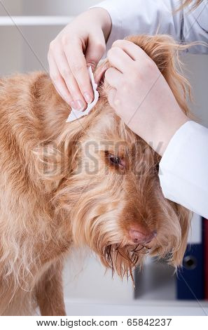 Vet Cleaning Dog's Ear