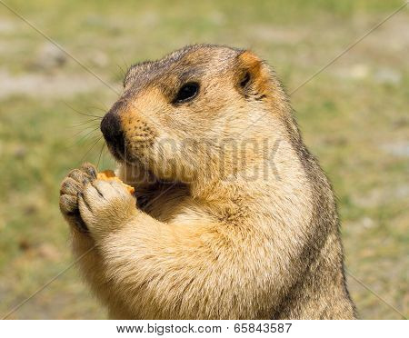 Funny Marmot With Bisquit On The Meadow