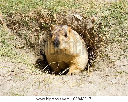 Funny Marmot In The Hole