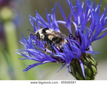Furry Bumble Bee.