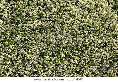 White Jasmine Background
