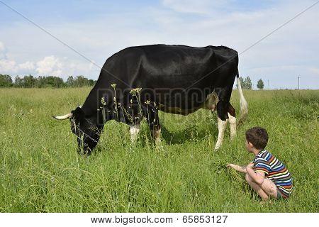 Little Boy Feeds The Cow Grass.
