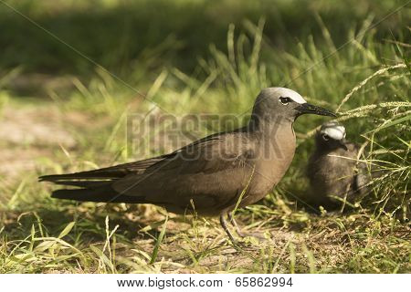 Black Noddy With Chick