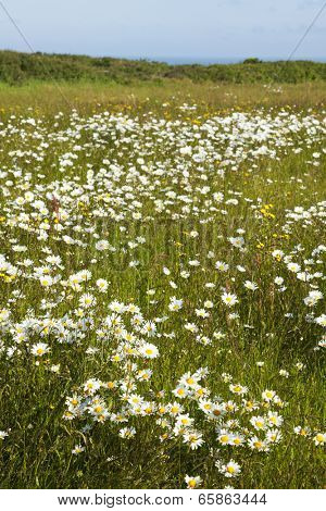 Meadow with marguerites at the Normandy