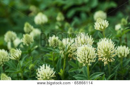 Large Flowers Of White Clover Plants From Close