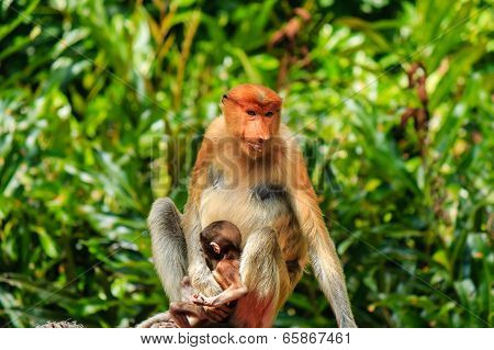 Mother And Baby Proboscis Monkey In The Forest
