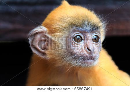 Juvenile Silver Leaf Monkey