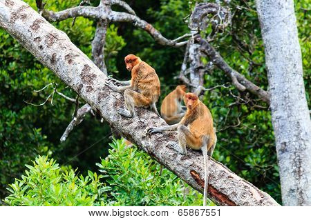 Family of Proboscis Monkeys