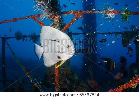 Spadefish being cleaned