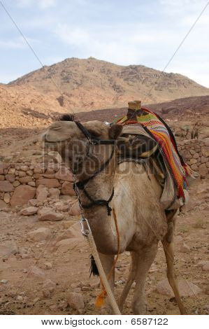Camel In Mount Sinai