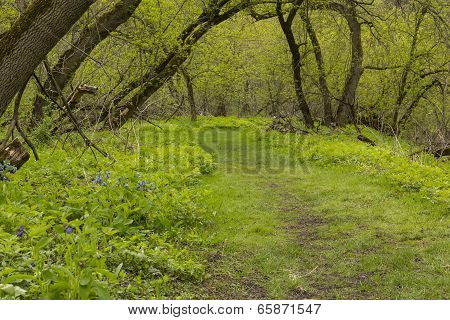 Spring Trail In Woods