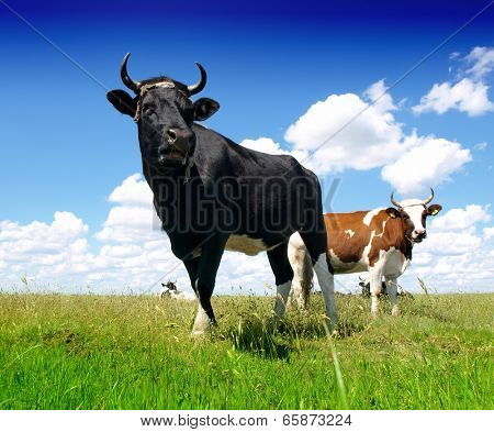 Black Bull and cow