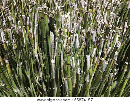 California Horsetail (equisetum)