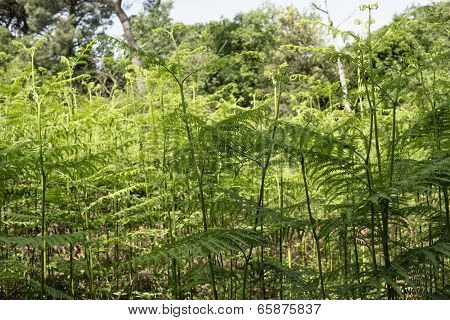 Ferns  In The Pinewood Forest Near Marina Romea