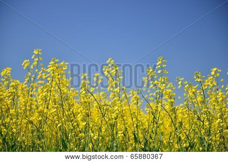 Yellow Canola Flower Field In Palouse