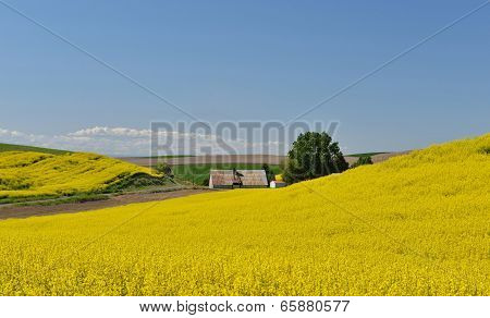 Yellow Canola Flower And Farmhouse  In Palouse