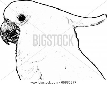 Vintage engraving. Old engraved illustration of a parrot Cacatua galerita-Sulphur - crested Cockatoo