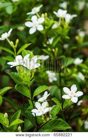 Jasminum Auriculatum flowers