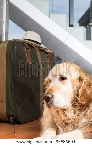 Golden Retriever Travel Departing