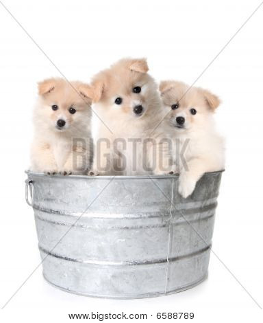 Three White Adorable Puppies In A Washtub
