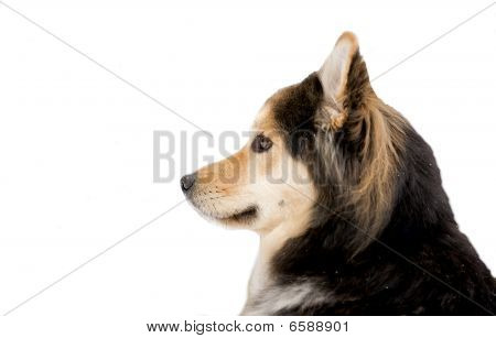 Siberian Husky mix sled dog.