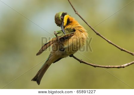 A Little-bee Eater (merops Pusillus) Preening Its Wing