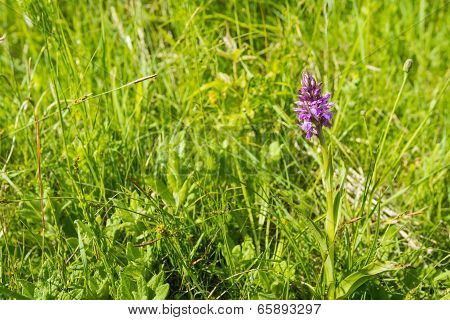 Pink flowering Western Marsh Orchid