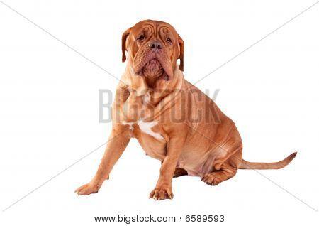 Sitting Dogue