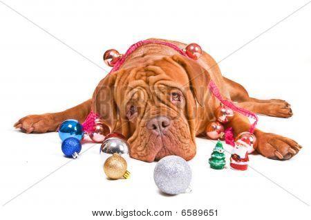 Christmas Dog Looking At Camera