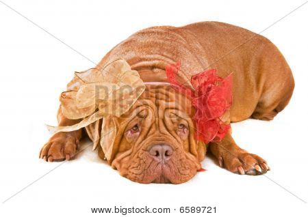 Kind Dog With Two Bows