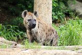 stock photo of hyenas  - Hyena in the wild near the trees - JPG