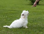 image of maltese  - obedient puppy dog maltese breed with trainer - JPG