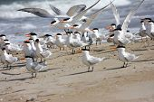picture of tern  - flock of Royal Terns on a beach