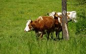foto of animal husbandry  - Cow  grassland mammals  farm animals domestic themes - JPG