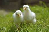 foto of banty  - Two Chicks Posing in the green grass - JPG