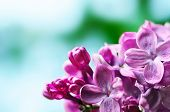 foto of lilac bush  - Macro image of spring lilac violet flowers - JPG