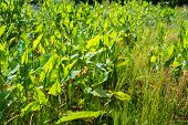 stock photo of sorrel  - Translucent young leaves of Common Sorrel or Rumex acetosa plants growing in the wild nature on a sunny day in the spring season - JPG
