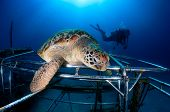picture of green turtle  - A Green Turtle rests on a new - JPG