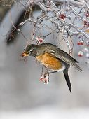 pic of red robin  - Robin clinging to icy branch with an red berry in his beak - JPG