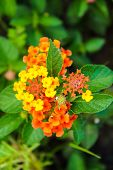 picture of lantana  - Lantana camara flowers in the garden of thailand