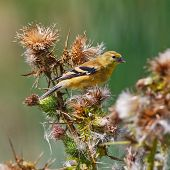foto of goldfinches  - American Goldfinch resting on a thistle plant with a watchful eye - JPG